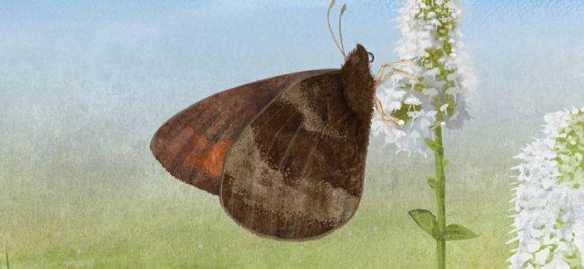 Arctic Butterflies interior